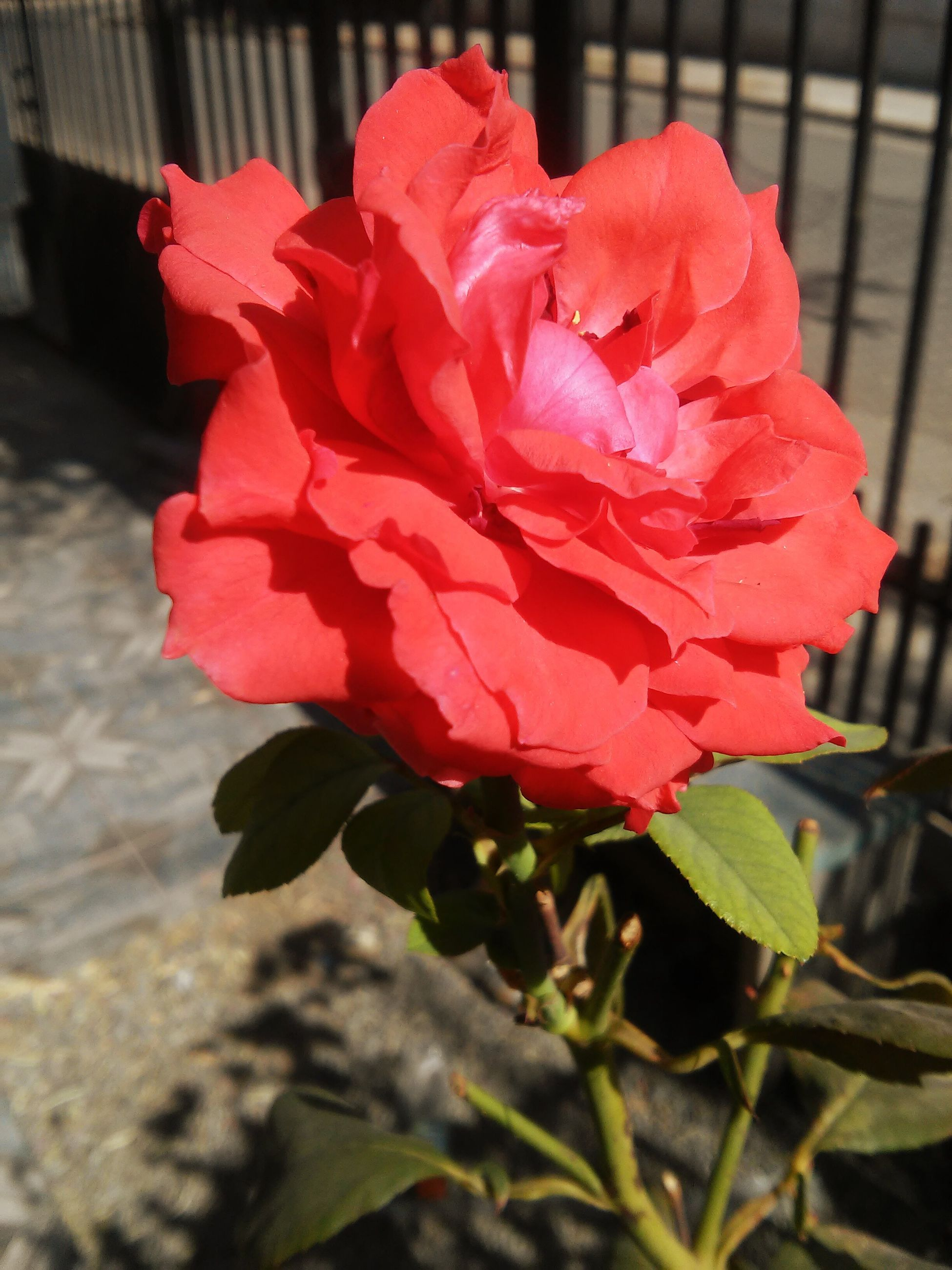 flower, petal, flower head, fragility, red, freshness, close-up, growth, plant, beauty in nature, focus on foreground, blooming, rose - flower, leaf, nature, single flower, day, in bloom, no people, outdoors