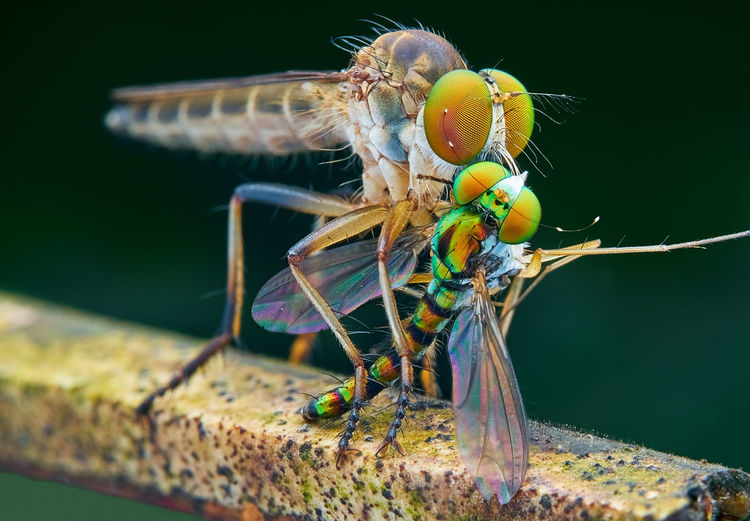 Robberfly with prey Fly Macro Photography Nature Insect Robberfly