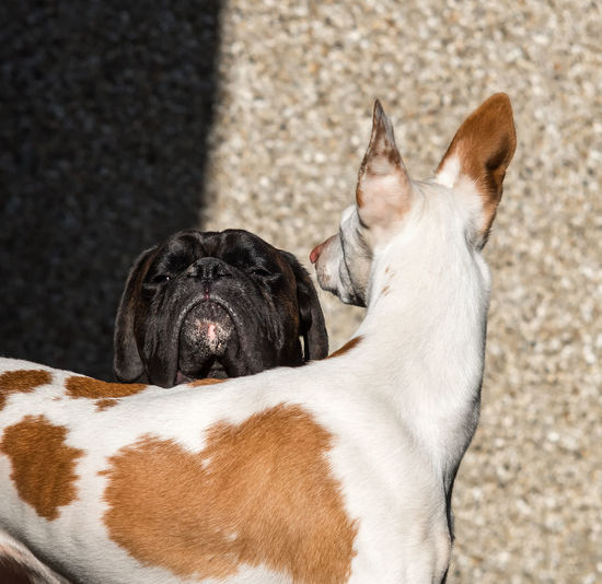 Boxer and ibizan hound against wall