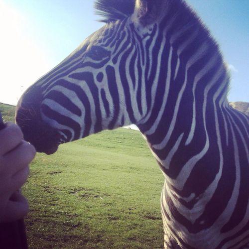 Zebra Westmidlandssafari Animals