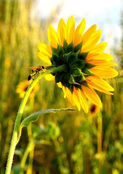 Crawling up the stem Sunflower Field Beauty In Nature Wasp On Flower Lusk Wyoming Sunny Afternoon Pretty Yellow Pedals Close-up