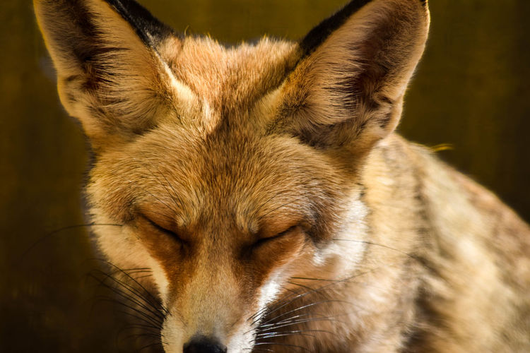 Close-Up Of Fox With Eyes Closed
