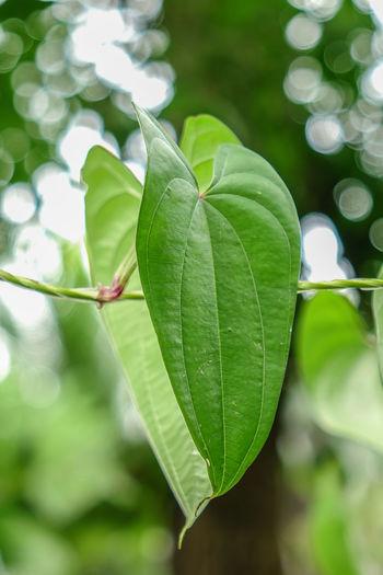 ใบไม้ที่สวยงาม เขียวขจี Wallpaper Backgrounds Leaf Nature Green Color Plant Outdoors Close-up No People Social Issues Freshness Defocused Growth Beauty In Nature Fragility โบเก้ Fruit Artist Art อื่นๆ Green Color ดอกไม้ (Flower)