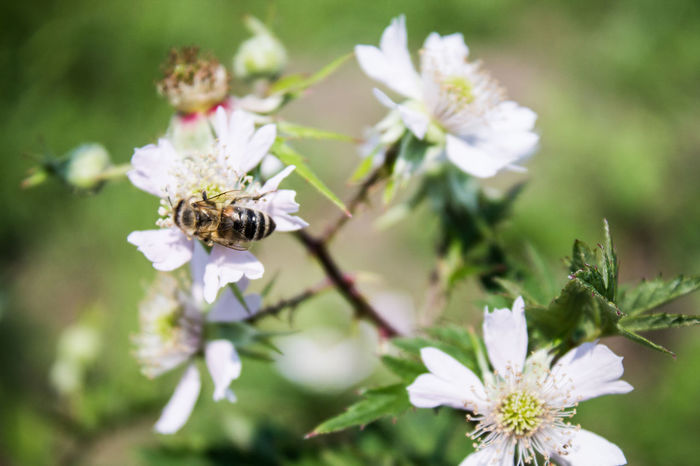Rubus Beauty In Nature Blackberry Evergreen Flower Flower Head Insect Nature