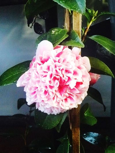 Beautiful Camellia Melbourne Camellia The Power Of Flowers Flower Flowering Plant Pink Color Plant Petal Freshness Growth Beauty In Nature Leaf Close-up Nature Day Outdoors
