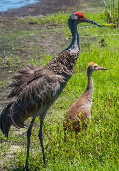 Apr 2019 - Brown Sandhill Crane (Grus canadensis) at Myakka River S.P. South Florida Wading Birds Animal Themes Animal Bird Animal Wildlife Animals In The Wild Vertebrate Group Of Animals Grass Two Animals No People Day Field Beauty In Nature Side View Animal Family Outdoors Baby Bird Swamp Life Brown Sandhill Crane Green Color Red Headed Bird Nature Focus On Foreground Land Standing Looking