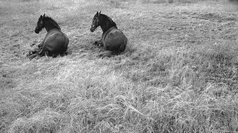 Animal Themes Nature Outdoors No People Naturaleza Horse Photography  Caballos Caballos 🐎🐎👢 Bnw Animal Photography