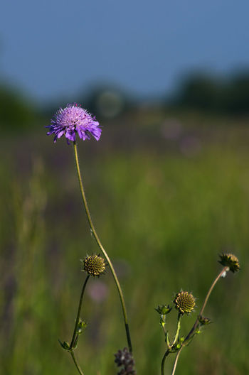 Beauty In Nature Blooming Close-up Day Field Flower Flower Head Focus On Foreground Fragility Freshness Growth Nature No People Outdoors Petal Plant Thistle