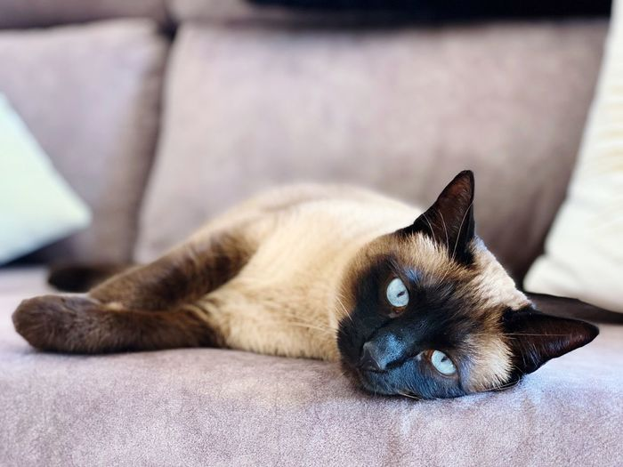 Zoe Adopt Save A Life AdoptDontShop Siamese Cat Blue Eyes Domestic Pets Domestic Animals Cat One Animal Domestic Cat Animal Feline Animal Themes Looking At Camera
