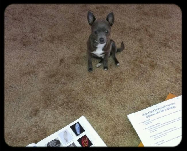 Studying Chihuahua Cute I Love My Dog Biology Puppy Love Cute Pets Ozzy Study Buddy Blue Chihuahua I Love My Chihuahua