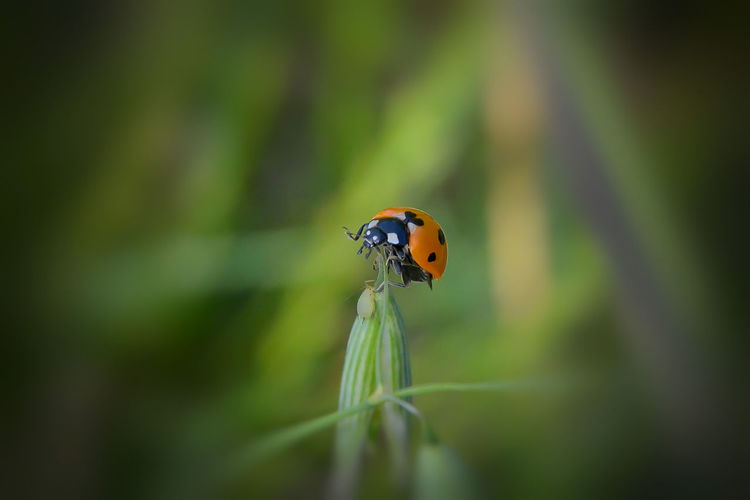 Best Of EyeEm Ladybug🐞 Animal Animal Themes Animal Wildlife Animals In The Wild Beauty In Nature Blade Of Grass Bugslife Close-up Day Ladybug Nature One Animal Plant Selective Focus Spotted