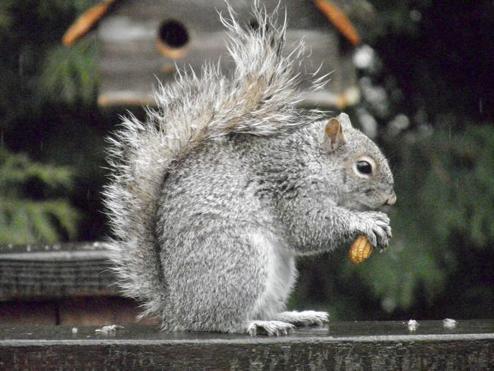 Squirrel eating a peanut perched atop a wooden railing on a rainy day closeup focus on the foreground side view Animal Themes One Animal Rodent No People