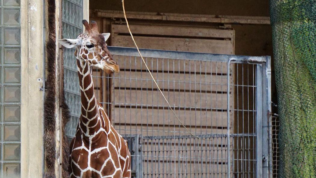 Giraffe 🍃 Zoo Frankfurt Visiting Zoo Tierwelt Animal Lover's EyeEmBestPics EyeEm Nature Lover Animal Wildlife Animal_collection Animal Body Part Close-up EyeEmBestEdits Eye4photography  Outdoors Eyeem Animal Growth