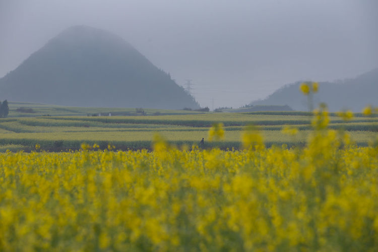 Yellow Beauty In Nature Landscape Field Tranquil Scene Land Scenics - Nature Environment Tranquility Flower Plant Agriculture Growth Flowering Plant Nature Rural Scene Crop  Oilseed Rape Day No People Outdoors