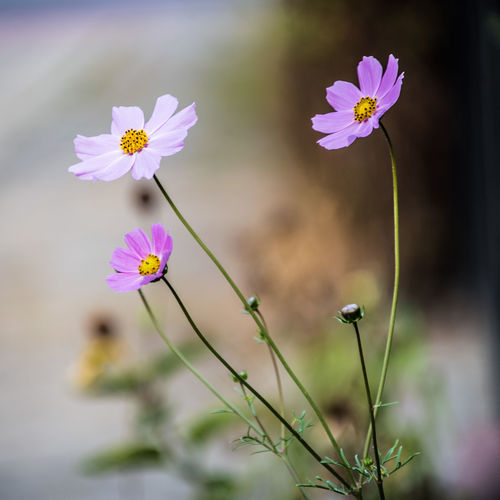 Beauty In Nature Close-up Cosmos Flower Day Flower Flower Head Flowering Plant Focus On Foreground Fragility Freshness Growth Inflorescence Nature No People Outdoors Petal Pink Color Plant Plant Stem Pollen Selective Focus Vulnerability