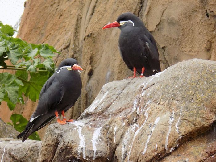 Inca Terns Perching On Rock At Living Coasts