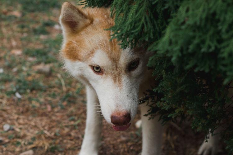 Portrait of siberian husky dog.siberian husky is sitting on the ground of grass.it so cute.