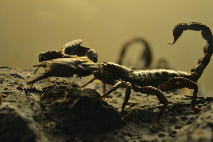 Close-Up Of Scorpion On Rock