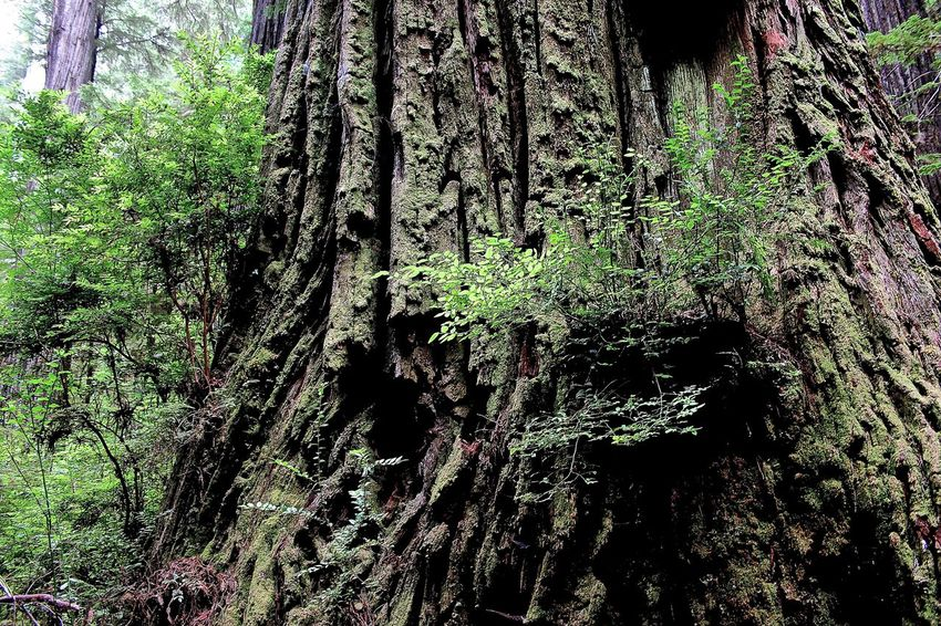 Forest Giant Redwoods Growing Growth Into The Forest Leaf Lush Foliage Natural Pattern Nature No People Outdoors Plant Prairie Creek Redwood Redwood Forest Redwood Park Redwood Trees Redwoods State Park  Tranquility Tree Tree Trunk
