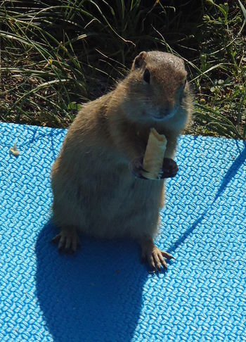 Animal Beggar Creature Eating Glutton Gopher  Ground Squirrel Little Siberia Fauna Small Suslik суслик Sweet Tooth