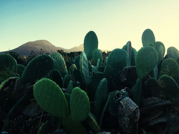 🌵🌵🌵 Growth Succulent Plant Cactus Sky Plant Nature Green Color Scenics - Nature Prickly Pear Cactus Tranquility Sunlight Tranquil Scene Leaf