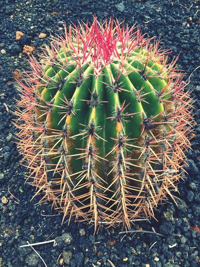 Cacti in bloom,