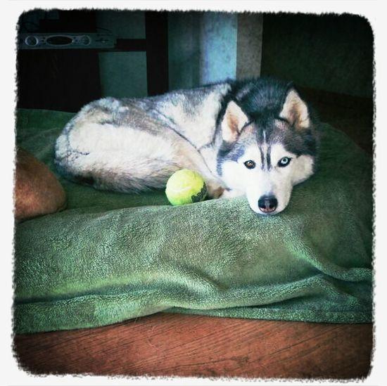Hanging Out Dogs Husky Vesta