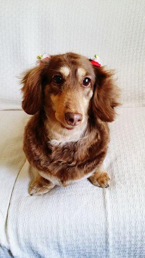 Dog Dog Love 愛犬 同じ被写体なのにリボン1つで若く見えるんですねぇ、6歳のメスなので立派なレディです