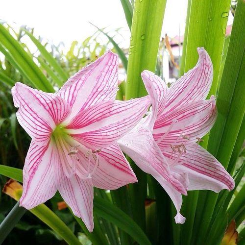 Lilies EyeEm Flower