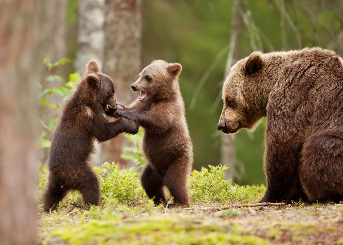 Bears on land