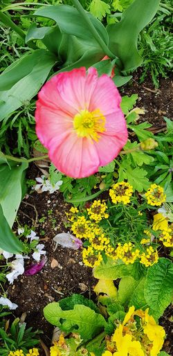 Flower Head Flower Petal Pink Color High Angle View Petunia Close-up Blooming Plant Green Color