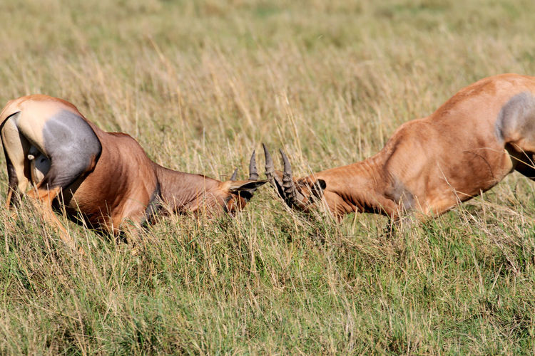 Close-Up Of Antelopes On Field