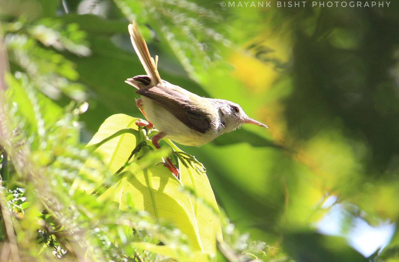 one animal, animal themes, animals in the wild, bird, green color, nature, no people, day, outdoors, animal wildlife, plant, close-up, leaf, perching, growth, sparrow, beauty in nature