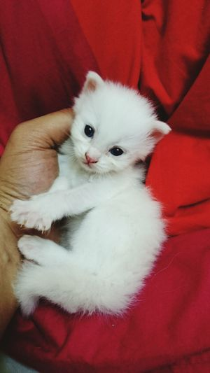 Cat♡ Pets One Animal Kittens Looking At Camera Whitecat Kittens Portrait Mammal Animal Themes Domestic Animals One Person Close-up Persian Cat  Pomeranian Day People