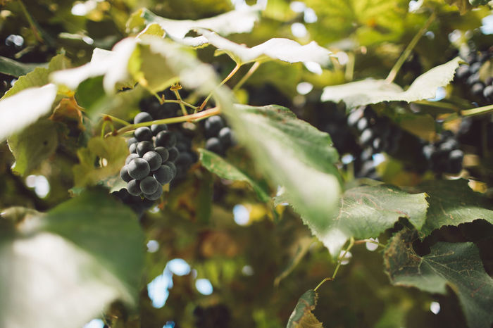Vine Vineyard Plant Harvest Harvesting Harvest Time Autumn Fruit Growth Healthy Eating Leaf Plant Part Food Food And Drink Freshness Berry Fruit Nature Close-up No People Wellbeing Day Green Color Beauty In Nature Focus On Foreground Tree Selective Focus Outdoors Ripe Winemaking