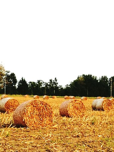 Balle di fieno Rural Scene Agriculture Tree Bale  Hay Tranquil Scene Field Landscape Tranquility Clear Sky Farm Harvesting Scenics Nature Travel Destinations Beauty In Nature Outdoors Sky No People Farmland