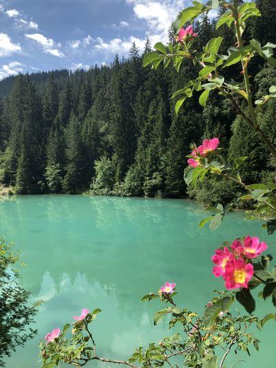 Pink flowering plants by lake against trees