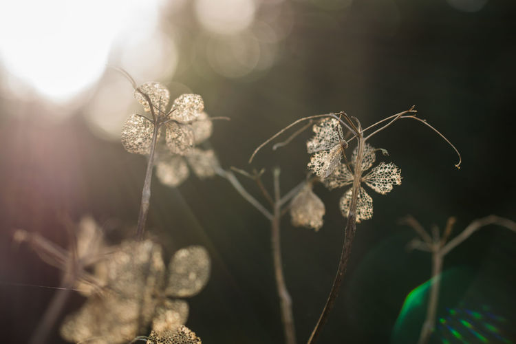 Bokeh Bokeh Photography Close Up Close-up Dried Flower Flower Fragility Lens Flare Morning Light New Year No People Tree Trees Wilted Flower