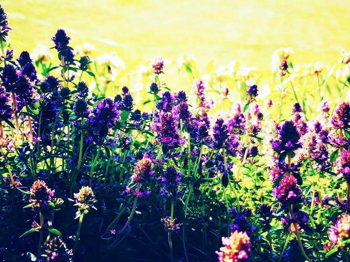 Close-up of purple flowering plants in field