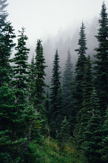Trees growing at forest in foggy weather