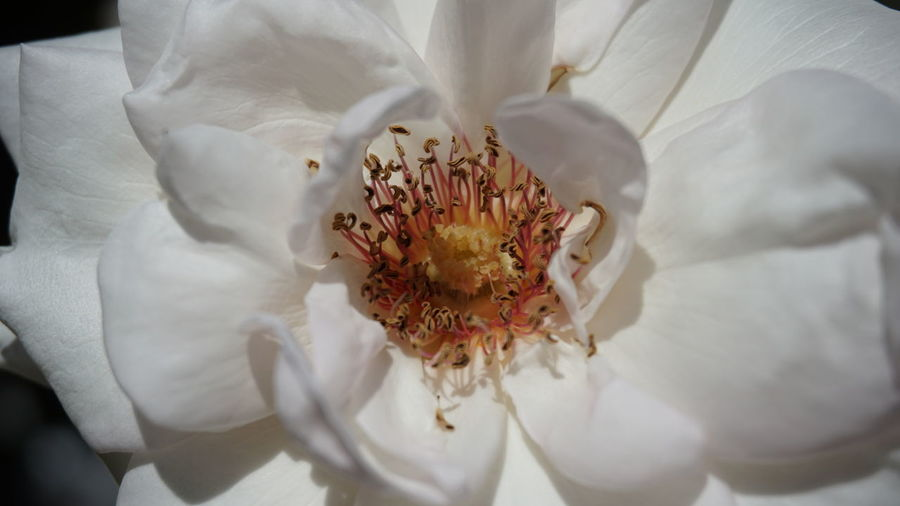 Rose🌹 Flowers Botany Flower Head Flower Petal Full Frame Backgrounds Pollen Close-up Plant Plant Life