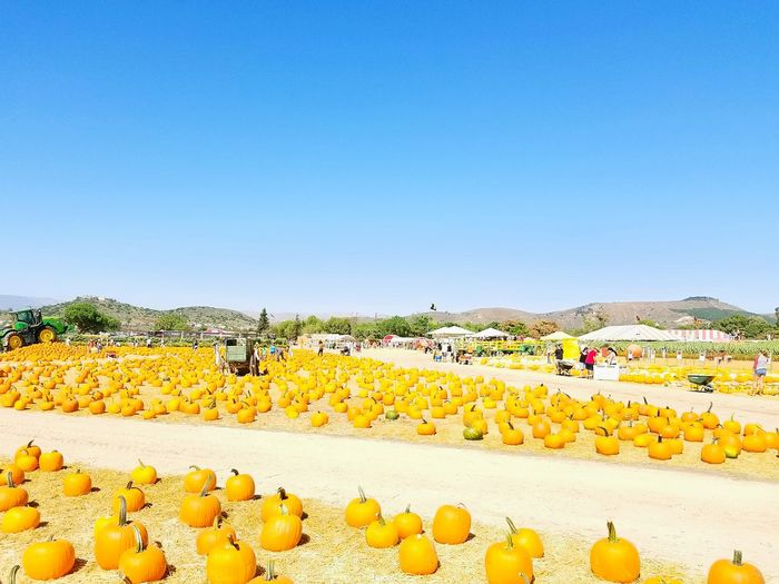 High Angle View Of Pumpkins On Field Against Clear Blue Sky