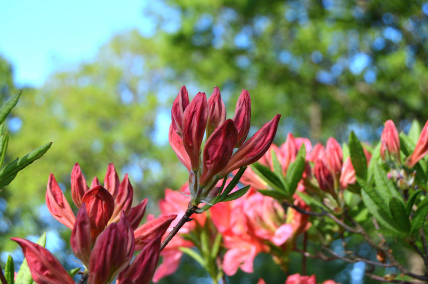 Flowers rhododendron in the city park under spring City Green Nature Rhododendron Beauty Beauty In Nature Close-up Colorful Day Florals Flower Flower Head Flowering Plant Flowers Focus On Foreground Fragility Freshness Growth Leaf Nature No People Outdoors Park Petal Pink Color Plant Plant Part Red Springtime Vulnerability