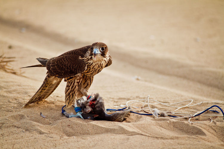 Falcon with prey on sand