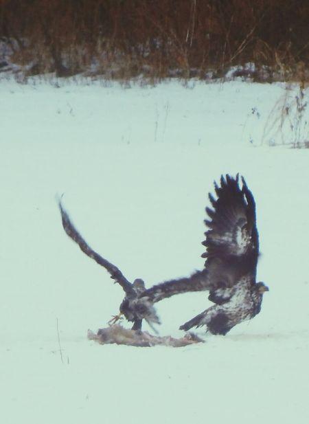 Winter Animal Wildlife Cold Temperature Snow Outdoors Flying Bird Bird Of Prey Juvenile Bald Eagle Hudson River Valley