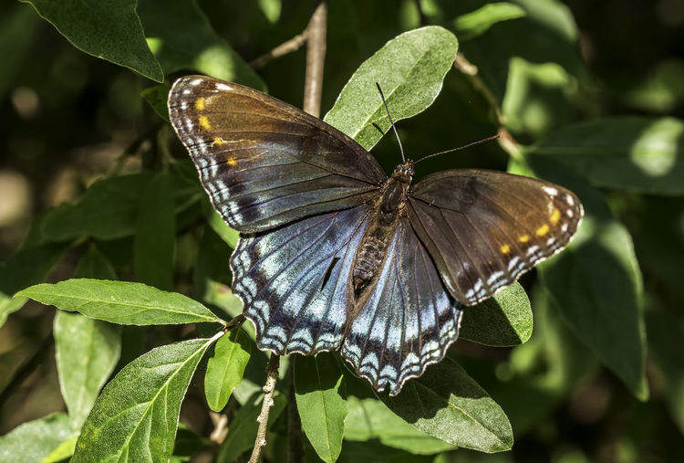 Red Spotted Purple Limenitis Arthemis Astyanax Animal Animal Themes Animal Wildlife Animal Wing Animals In The Wild Beauty In Nature Butterfly Butterfly - Insect Close-up Insect Leaf Macro Nature No People One Animal Outdoors Plant Part Red Spotted Purple Butterfly