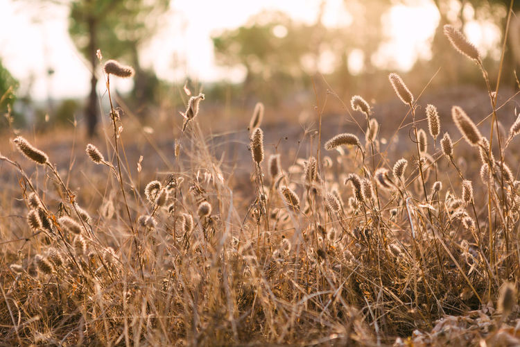 Close-Up Of Dried Plants On Field During Sunset