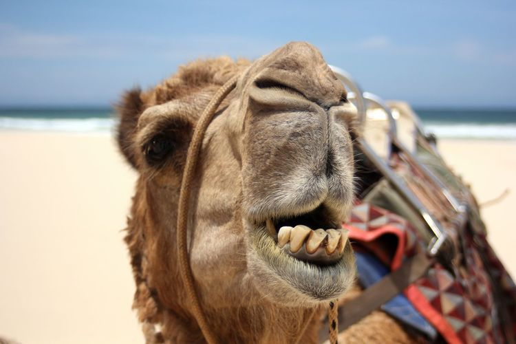 Close-Up Of Camel On Beach