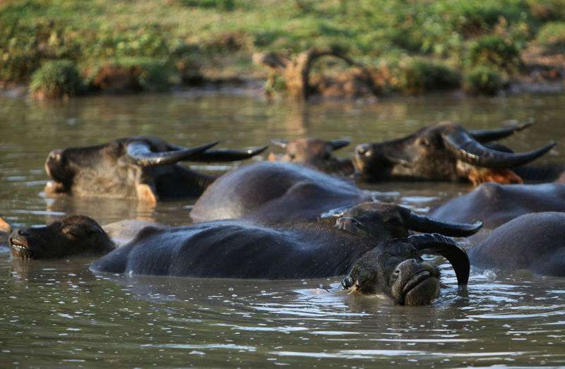 Buffaloes Relaxing In River