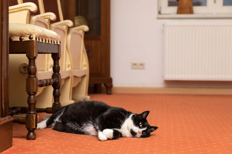 Black Cat Lying By Chair On Floor At Home